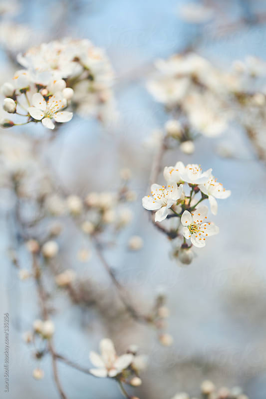 Plum tree in bloom by Laura Stolfi for Stocksy United