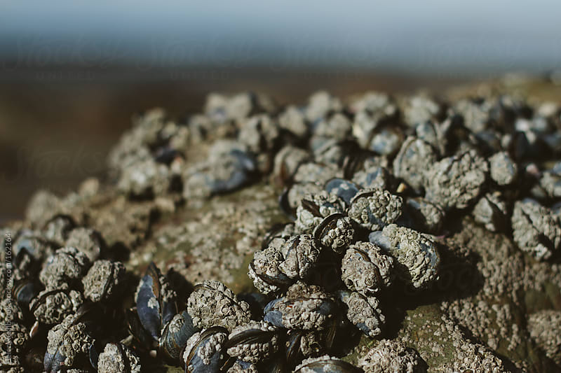 Barnacle-encrusted mussels on a rock by Helen Rushbrook for Stocksy United