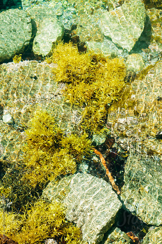 seaweed and rocks in a tidepool by Jess Lewis for Stocksy United