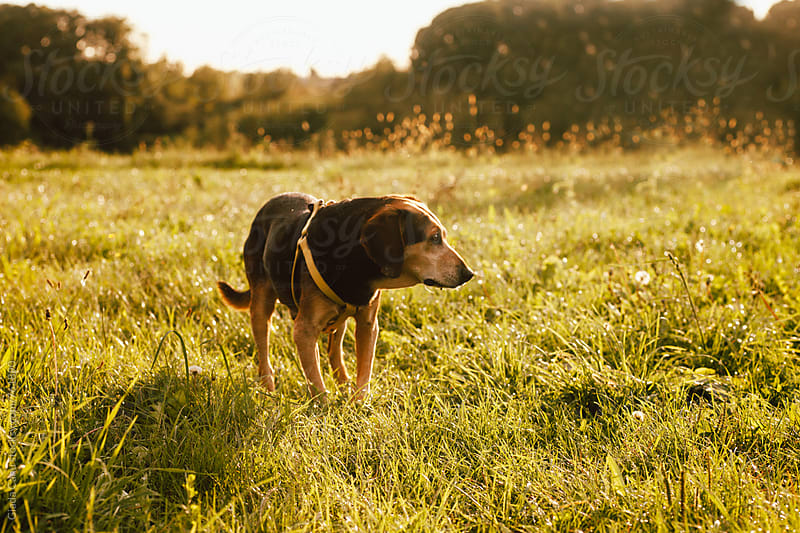Dog walking in a field by Giada Canu for Stocksy United