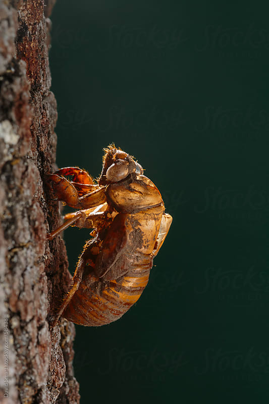 Cicada exuvia clings to the bark of an oak tree trunk by David Smart for Stocksy United