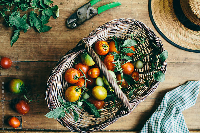 Basket with variaty of tomatoes and gardening tools by mee productions for Stocksy United