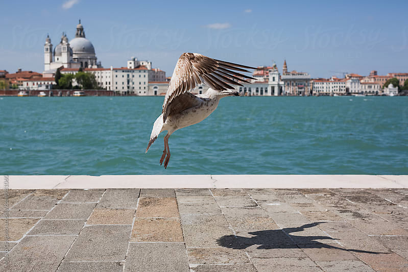 Seagull in Venice, Italy by Mauro Grigollo for Stocksy United