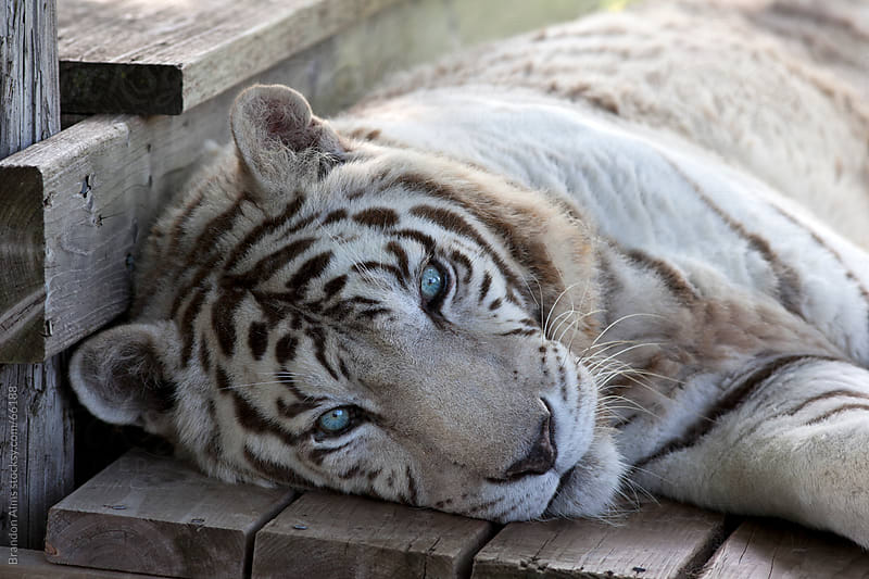 Rescued White Tiger at a Wildlife Refuge by Brandon Alms for Stocksy United
