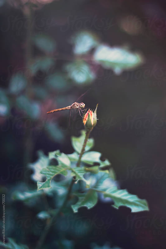 Dragonfly on rose by Jovana Rikalo for Stocksy United
