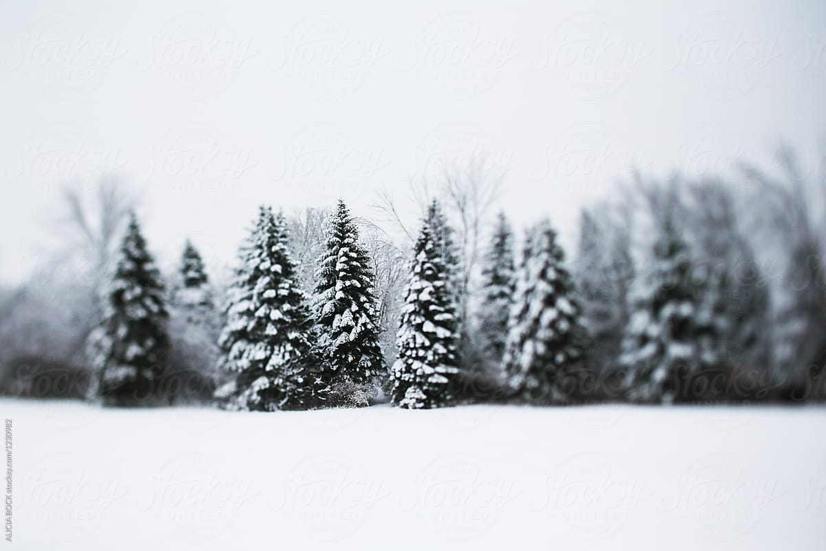 a row of tall pine trees covered with snow on a cold winter day