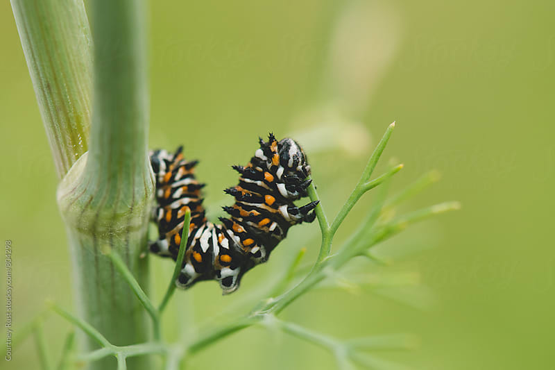 Black Swallowtail Caterpillar on Dill by Courtney Rust for Stocksy United
