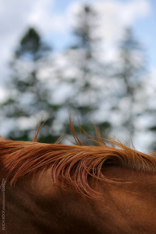 Close Up Of The Mane Of A Brown Horse  by ALICIA BOCK for Stocksy United