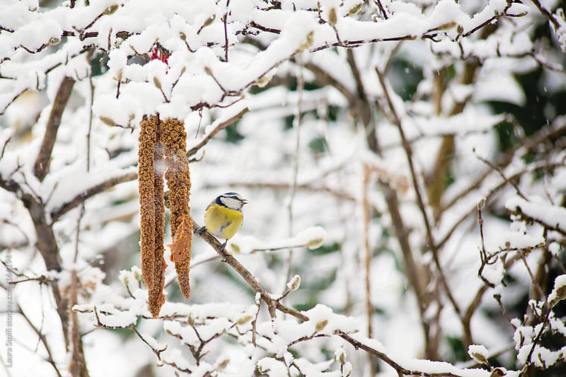 Blue tit on seeds panicle under the snow by Laura Stolfi for Stocksy United