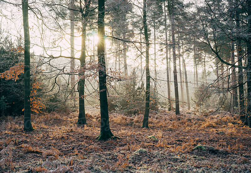 Sunrise through frost covered woodland.  by Liam Grant for Stocksy United