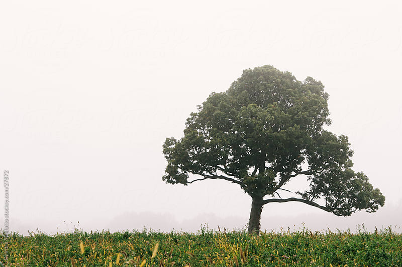 Tree Alone in a Field in the Fog by Deirdre Malfatto for Stocksy United