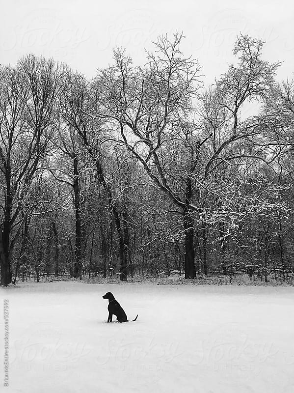 Black Working Dog on a Snowy Walk In The Woods by Brian McEntire for Stocksy United