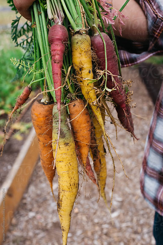 young male holding variety of fresh carrots vegetables in garden outdoors by Jesse Morrow for Stocksy United