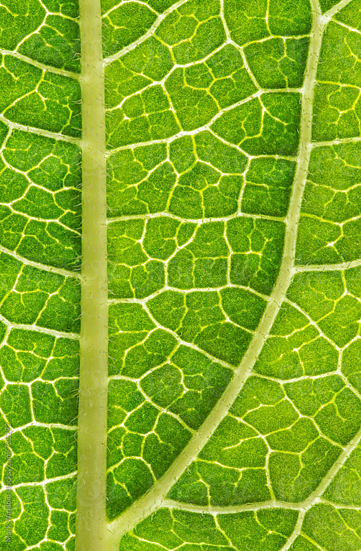 Backlit coneflower leaf, closeup by Mark Windom for Stocksy United