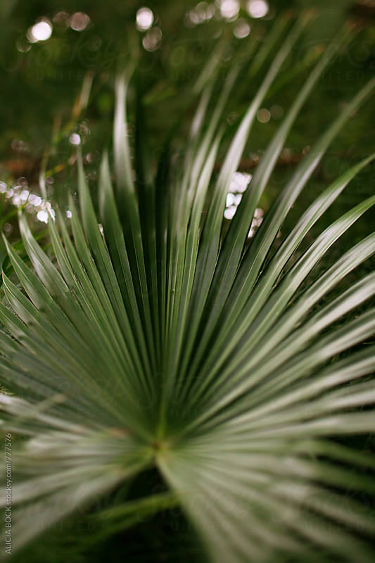 A Shiny Green Palm Frond by ALICIA BOCK for Stocksy United