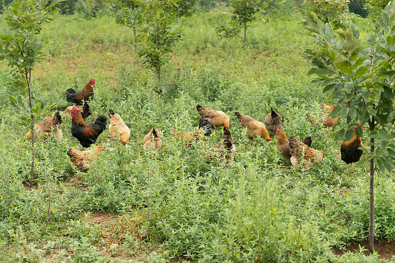 Free range chickens in field by Maa Hoo for Stocksy United