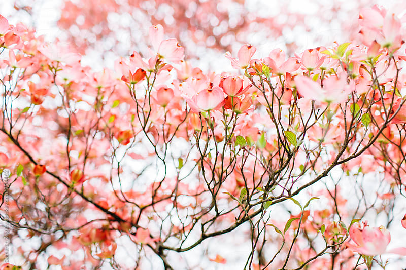 pink dogwood tree by Cameron Zegers for Stocksy United