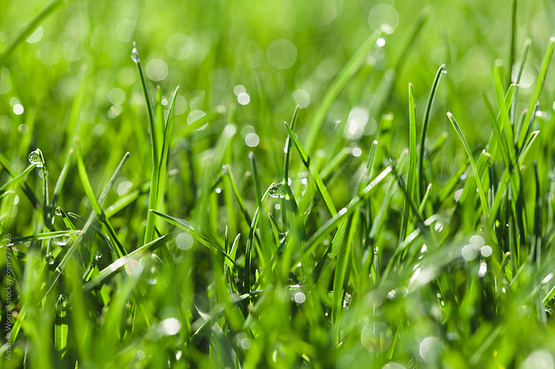 Close up of dew droplets on blades of grass by Amanda Worrall for Stocksy United