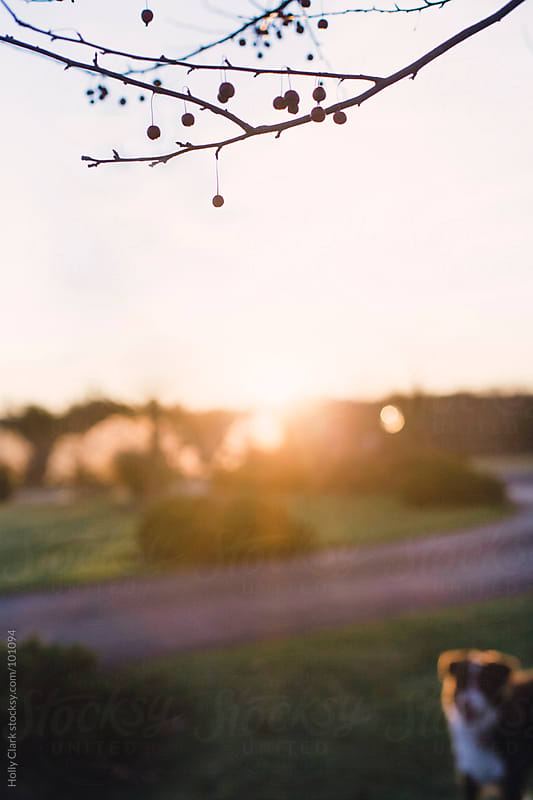 Cherries hang off a barren tree at sunset. by Holly Clark for Stocksy United