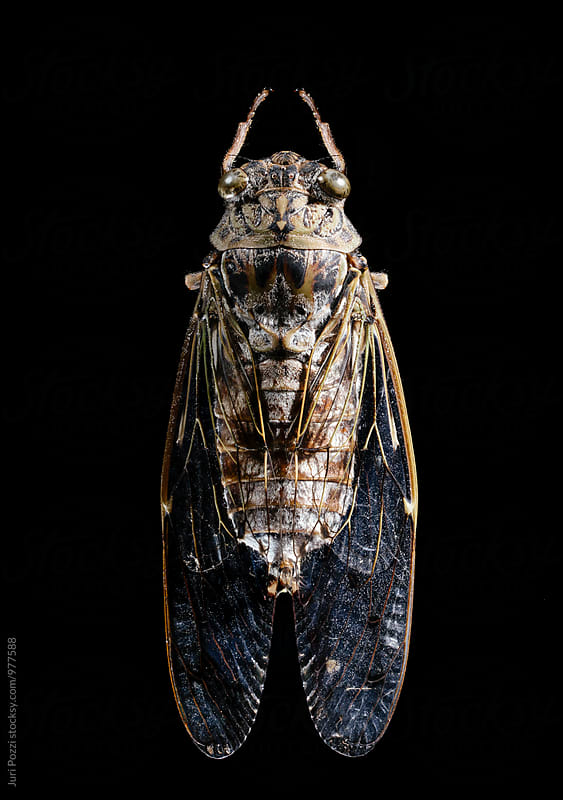 Macro of a cicada by Juri Pozzi for Stocksy United
