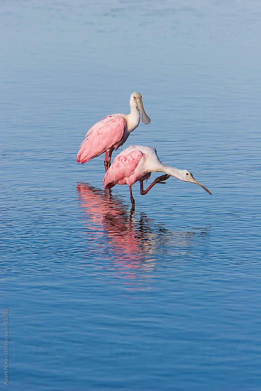 Two Spoonbills in the Water by Adam Nixon for Stocksy United
