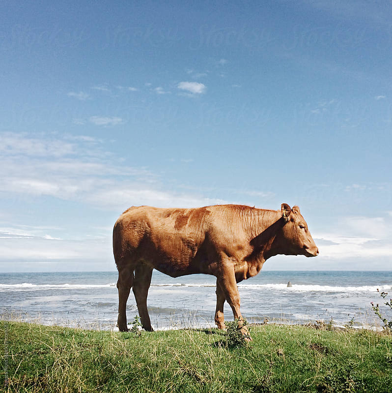 A cow on grassland by a beach by James Ross for Stocksy United