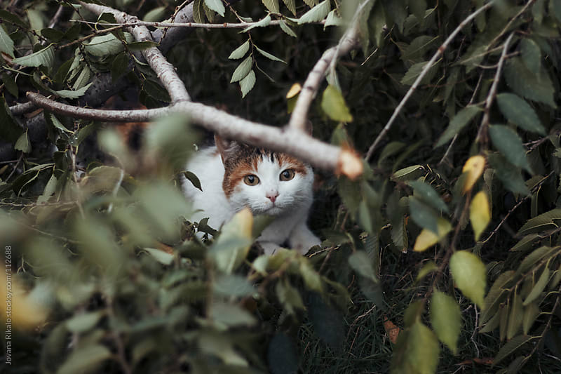 Cat is looking trough branches by Jovana Rikalo for Stocksy United