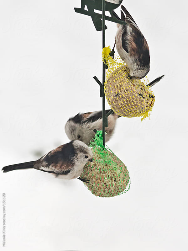 Long-tailed tit feeding on fatball in winter by Melanie Kintz for Stocksy United