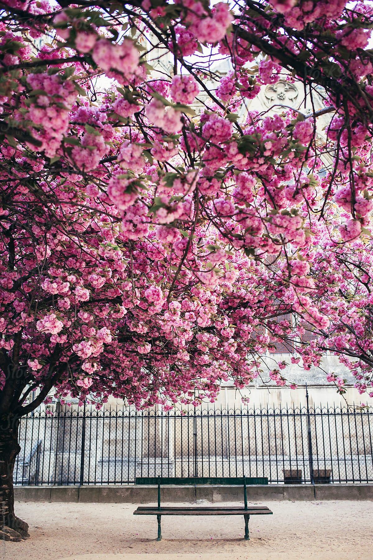 Bench under the big pink tree stocksy united bench under the big pink tree by jovana rikalo for stocksy united mightylinksfo
