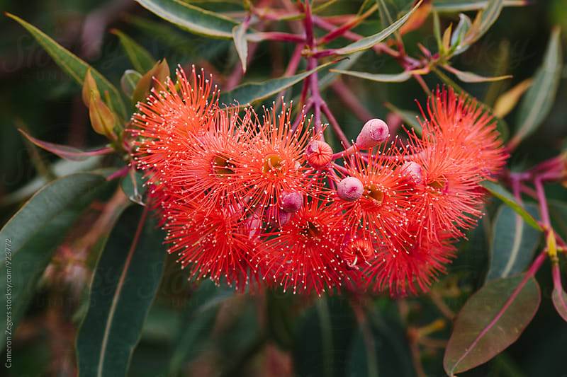 eucalyptus flower by Cameron Zegers for Stocksy United
