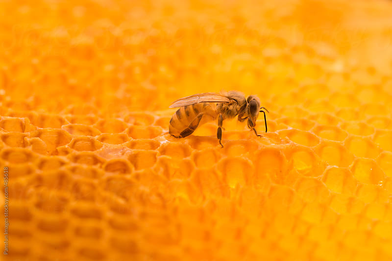 honey bee  on honeycomb by Pansfun Images for Stocksy United