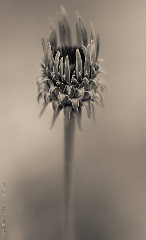 Echinacea bud in monochrome by alan shapiro for Stocksy United