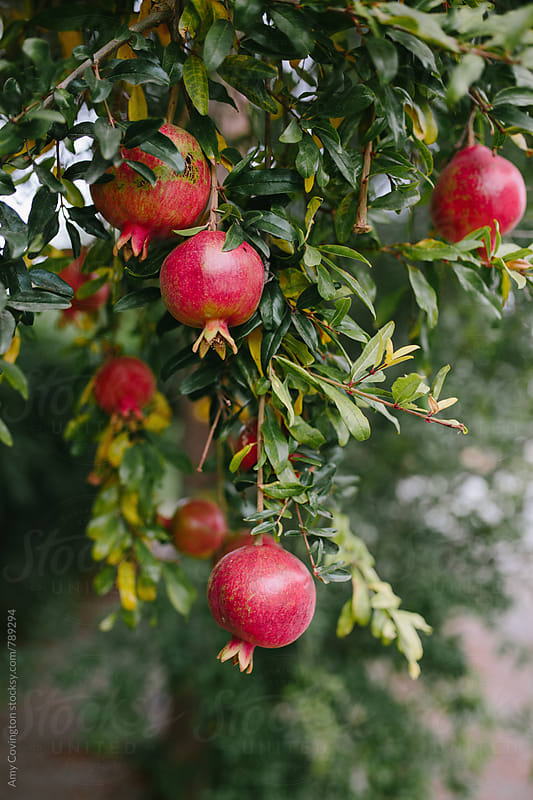 Pomegranates growing on a pomegranate tree by Amy Covington for Stocksy United