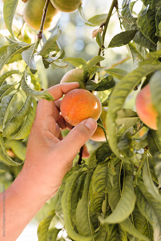 Hand picking a fresh organic peach by Amy Covington for Stocksy United