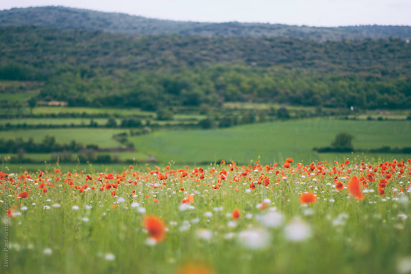 landscape with poppy field by Javier Pardina for Stocksy United