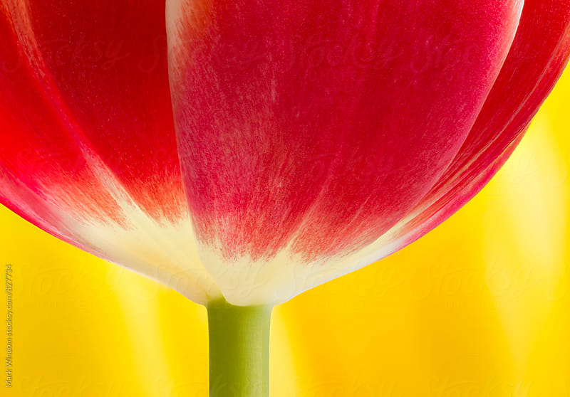 Red tulip closeup by Mark Windom for Stocksy United