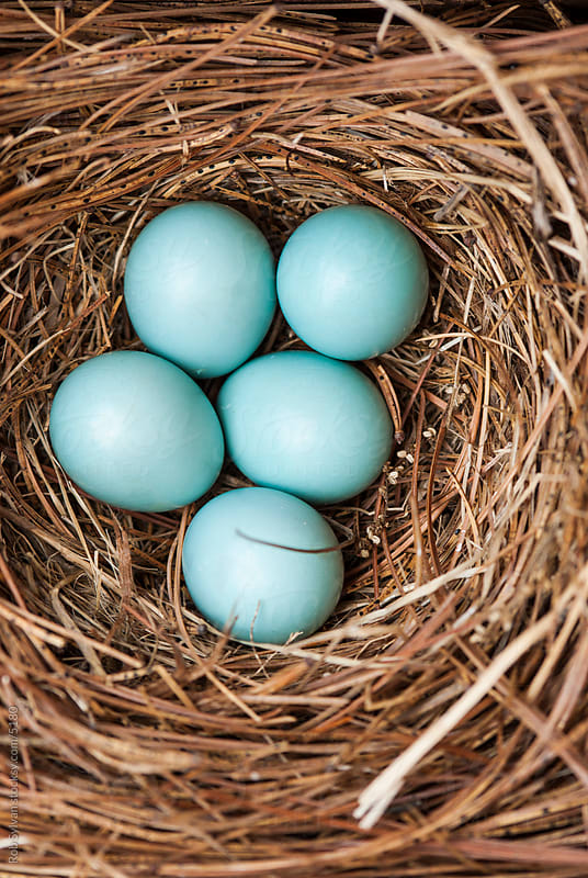 Bluebird Eggs in a Nest by Rob Sylvan for Stocksy United
