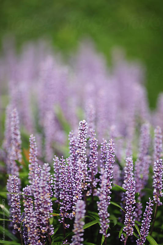 Flowering liriope muscari plant in a garden in autumn by Marcel for Stocksy United