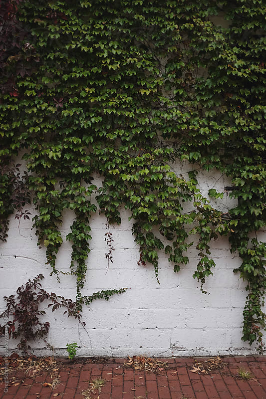 Green ivy growing on a white brick wall in a city alleyway by Greg Schmigel for Stocksy United