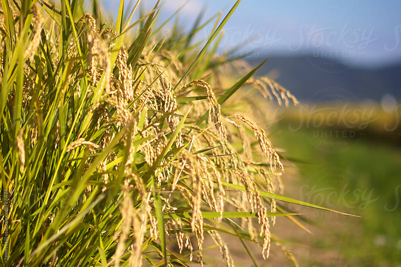Golden Rice  Harvest by Jason Hill for Stocksy United