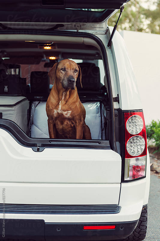 dog in back of 4x4 truck, waiting patiently. by Gillian Vann for Stocksy United