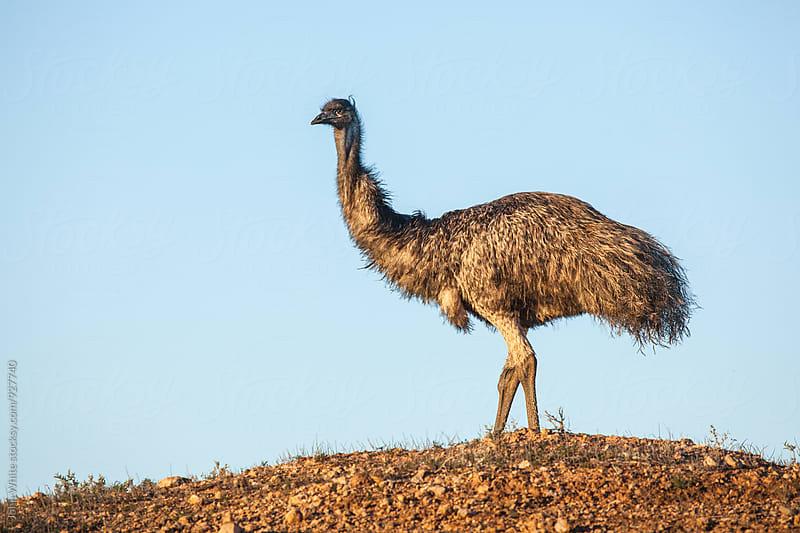 Emu in outback Australia. by John White for Stocksy United