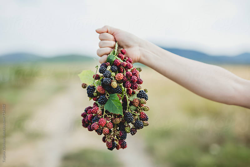 Hand holding blackberries by Tatjana Zlatkovic for Stocksy United