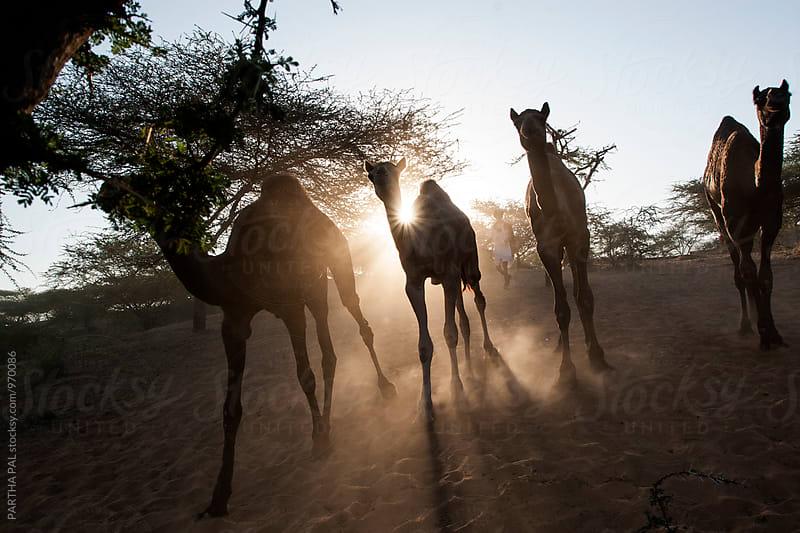 Camel running through desert by PARTHA PAL for Stocksy United