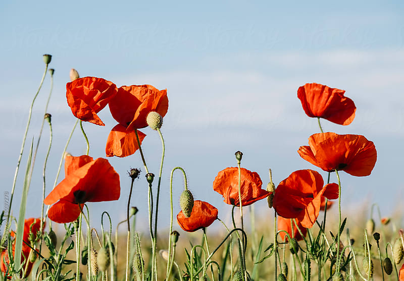 Wild poppies growing beside a field. Norfolk, UK. by Liam Grant for Stocksy United