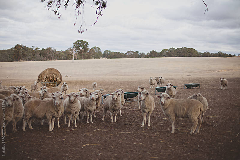 sheep in paddock by Natalie JEFFCOTT for Stocksy United