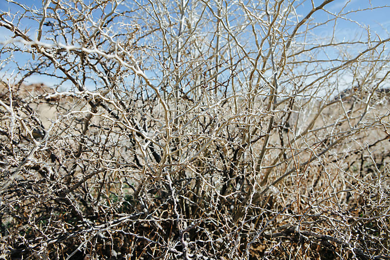 Close up of thorn covered bush in Mojave Desert, CA by Paul Edmondson for Stocksy United
