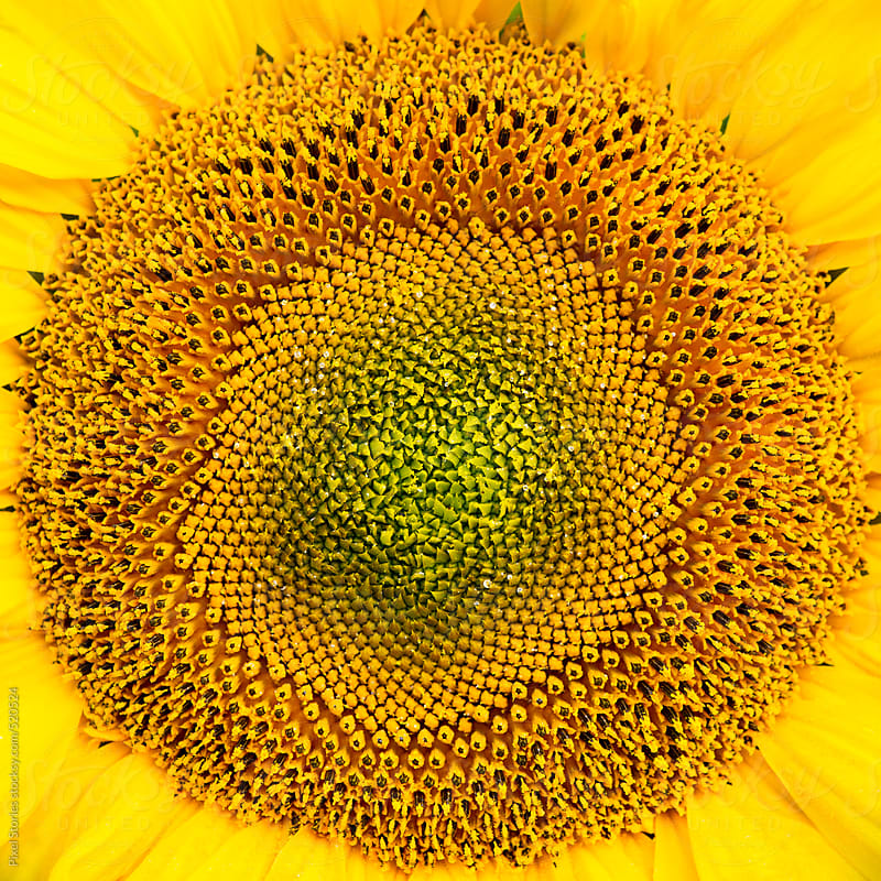 Sunflower details by Pixel Stories for Stocksy United