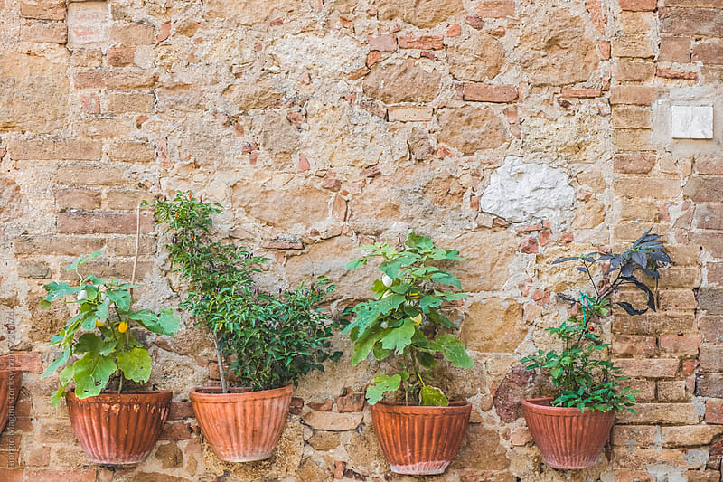 Four Potted Plants Hanging on an Old Tuscan Wall by Giorgio Magini for Stocksy United