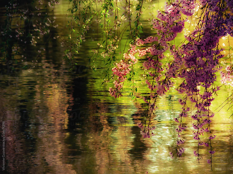 Cherry Blossoms over a Pond by Vivienne Gucwa for Stocksy United